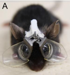 생후 21일 차인 어린 생쥐에게 한쪽은 도수가 없고 한쪽은 –30 디옵터인 콘택트렌즈로 만든 고글을 씌우면 오목렌즈 아래 눈이 근시가 된다. 이 방법은 근시 유발 메커니즘을 이해하는데 큰 도움이 되고 있다. PNAS 제공