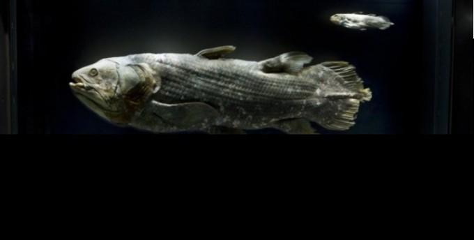 '살아있는 화석' 실러캔스 50대 후반 임신해 100년간 산다
