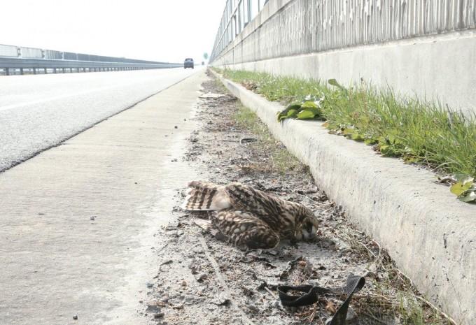 한국에서도 유리창 충돌 등으로 사망하는 새들의 수가 연간 800만 마리에 달한다. 쇠부엉이가 도로 방음벽에 부딪혀 죽어 있다. 국립생태원 제공
