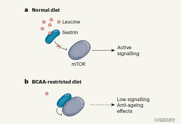 필수아미노산 가운데 가지사슬 아미노산(BCAA)인 류신과 아이소류신, 발린은 근육을 키우는 데 도움이 된다. 최근 BCAA가 TOR 경로를 활성화해 세포 성장과 분열을 촉진하는 신호를 내보내게 한다는 초파리 실험 결과가 나왔다. BCAA가 충분한 먹이에서는 BCAA(특히 류신)가 세스트린 단백질과 결합해 TOR에서 떼어내 TOR 경로가 활성화된다(위). 반면 BCAA 제한 먹이에서는 세스트린이 TOR에 달라붙어 비활성 상태로 만든다. 그 결과 노화가 늦춰진다. 네이처 제공