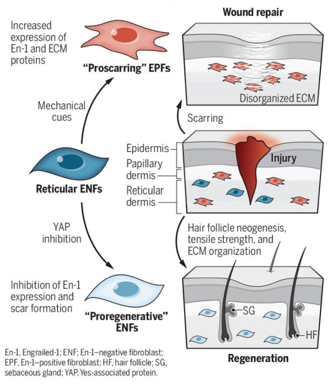 진피는 표피와 접한 유두진피층과 그 아래 망상진피층으로 이뤄져 있다. 진피가 상처를 입으면 망상진피에 있는 섬유아세포(reticular ENF)가 EPF로 성격이 바뀌면서 콜라겐을 과도하게 만들어 밧줄다발처럼 뭉치게 해 흉터로 남는다(위). 상처가 나도 YAP를 억제하면 ENF가 그 자체로 치유에 관여하면서 흉터 없이 온전하게 낫는다(아래). 사이언스 제공