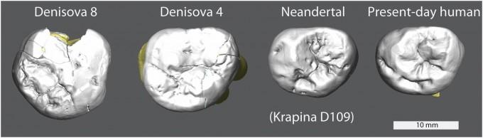 지금까지 게놈 분석을 통해 데니소바인으로 확증된 화석은 손가락뼈 하나와 어금니 세 개뿐이다. 그 결과 지금까지 알려진 데니소바인의 유일한 신체 특징은 커다란 어금니다(맨 왼쪽과 왼쪽에서 두 번째). 네안데르탈인의 어금니 크기는 현생인류와 비슷하다(오른쪽에서 두 번째와 맨 오른쪽). 이처럼 신체 특성의 차이가 염기 서열에 따른 분류학상 거리와 비례하지 않는 경우가 많아 조심해야 한다. 만일 게놈 정보가 없었다면 데니소바인을 네안데르탈인의 자매종으로 묶지는 않았을 것이다. 신체 특징을 수량화한 뒤 통계처리해 화석을 분류한 이번 연구결과에 신뢰가 가지 않는 이유다. PNAS 제공