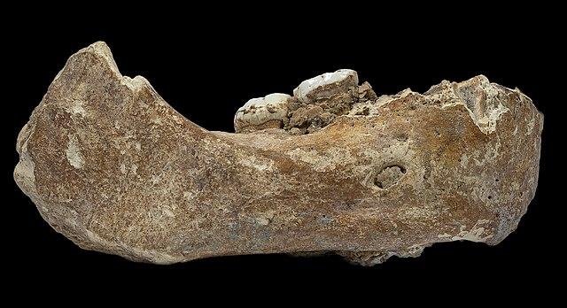 중국 티벳 샤허에서 발견된 아래턱뼈 화석으로 커다란 어금니가 박혀 있어 데니소바인으로 추정되고 콜라겐 아미노산 분석 결과도 이를 뒷받침했다. 그러나 이번 논문에서 저자들은 하얼빈 두개골과 가장 가까운 호모 롱기라고 주장했다. 네이처 제공