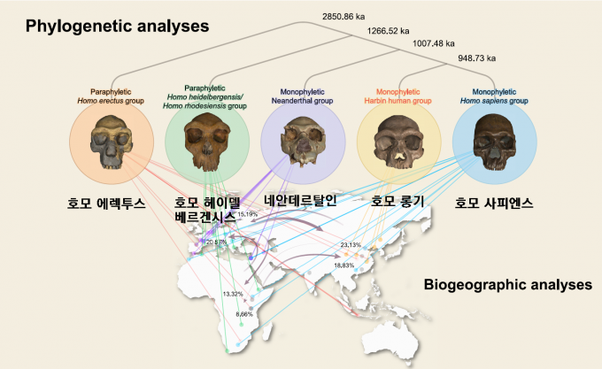연구자들은 두개골의 55가지 특성을 수치화해 통계처리하는 프로그램을 만들어 하얼빈 화석과 기존 95개 두개골 화석을 비교했다. 그 결과 나온 계통도에 따르면 네안데르탈인(가운데)과 호모 사피엔스(맨 오른쪽)는 약 100만 년 전 갈라졌다. 호모 롱기(오른쪽에서 두 번째)는 그 직후인 약 95만 년 전에 호모 사피엔스와 갈라져 자매종이 됐다. ′혁신′ 제공