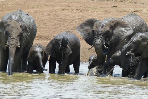 코끼리, 코만 긴줄 알았는데, 이런 능력이?!