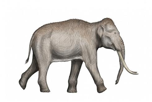 10만 년 전 고대 코끼리의 친척은 '둥근귀코끼리'
