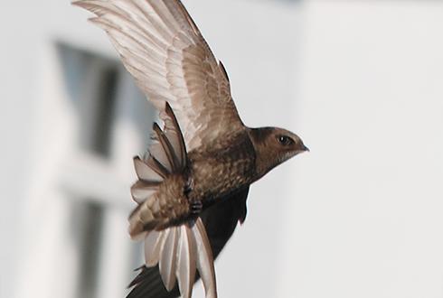 한 번 공중에 뜨면 약 1년을 날아다니는 새가 있다