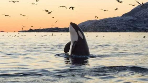 [강석기의 과학카페 305] 범고래 암컷이 나이 마흔에 폐경기를 겪는 이유