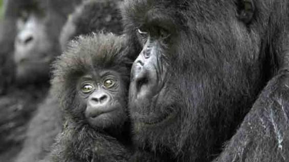 """우리의 사촌이...""""50년 내로 침팬지 등 영장류 60% 멸종할 것"""""""