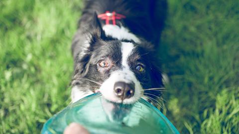 [백개사전 09] 명령받는 것을 좋아하는 영리한 개, '보더 콜리'