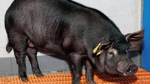 치매 유전자 돼지로 신약 개발할까