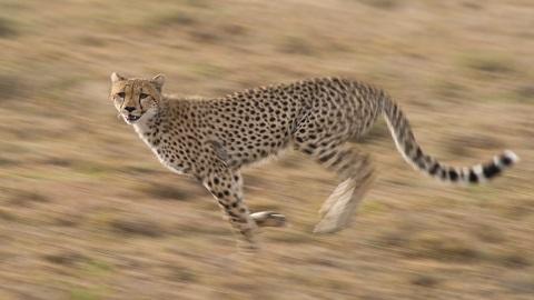 치타가 빠른 이유는 적절한 체중 때문? 모든 동물에 통하는 속도 분석법