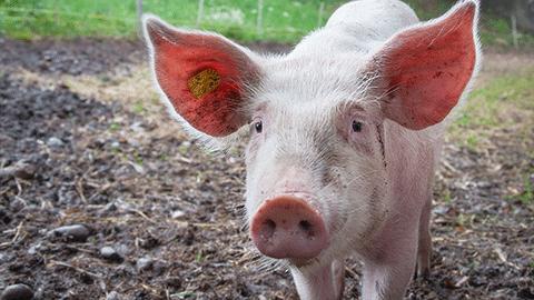 유전자 가위로 바이러스 제거 '돼지 장기, 인간이식 길 열려'