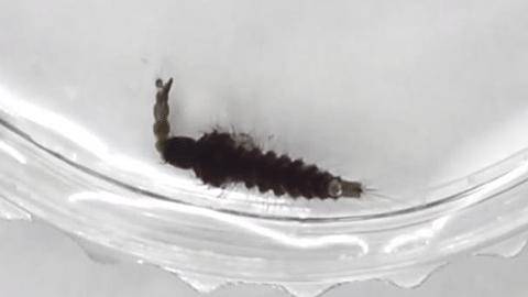전염병 모기, '왕' 모기로 잡는다?