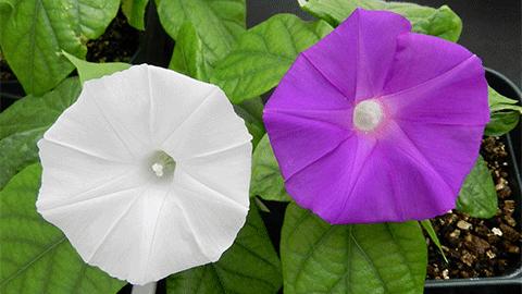 [강석기의 과학카페] 게놈편집으로 흰 나팔꽃 만들었다!