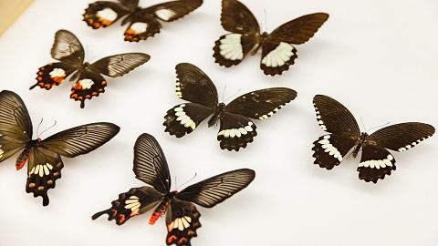 나비 무늬 결정하는 유전자 어떻게 진화했나