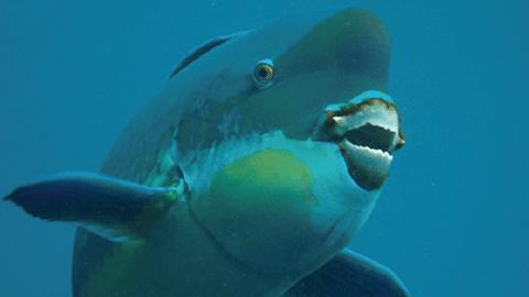 산호도 씹어 먹는 돔의 비밀 밝혔다