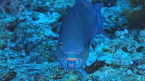 [팔라우에서 온 힐링 레터] 아찔한 화려함 속 생존본능 '앵무고기(Parrotfish)'