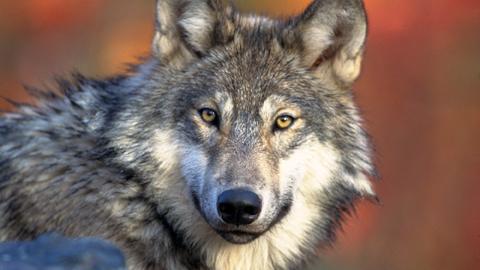 [그것을 알려 줄개②] 늑대개는 개일까, 늑대일까