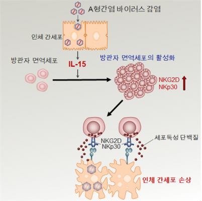 면역세포가 오히려 조직 파괴… KAIST, 방관자 면역세포의 인체 손상 원리 발견