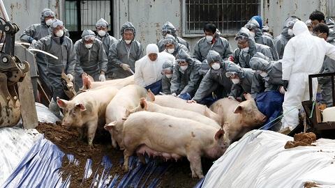 [사이언스 지식IN] 돼지에서 첫 발생 A형 구제역...소 백신 써도 되나?