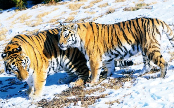 백두산 호랑이 만나러 가자! 국립백두대간수목원 내달 3일 개원