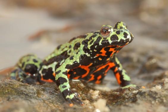 세계 개구리 멸종으로 내몬 항아리곰팡이, 한국이 발원지