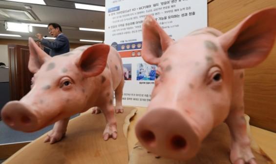 돼지 각막 이식받은 원숭이, 1년 넘게 정상...인간 이종이식 임상 한발 더