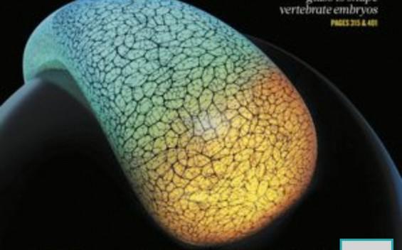 [표지로 읽는 과학] 배아세포들은 어떻게 자기 자리를 찾아갈까?