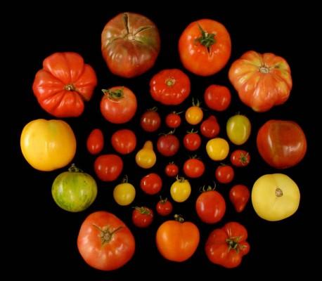 토마토도 프로바이오틱스 먹는다