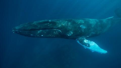 [여기에 과학]현생 고래 조상의 등장시기 800만년 더 앞당겨질 듯