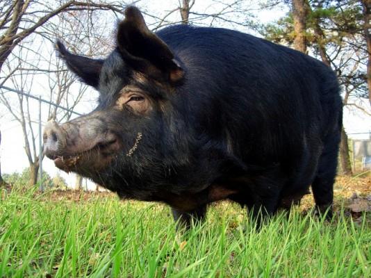 식량자원부터 장기이식 연구까지...과학자는 돼지를 사랑해~