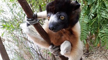 [내 마음은 왜 이럴까]마다가스카르 여우원숭이가 인간에게 준 숙제