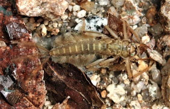 [이강운의 곤충記]아가미 있는 곤충의 겨울나기