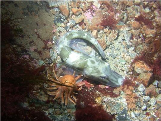흰색 피 남극빙어, 찬 바다서 살아남은 이유 밝혔다