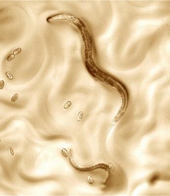 진화와 종 분화의 실마리, 새 예쁜꼬마선충 게놈에서 찾았다
