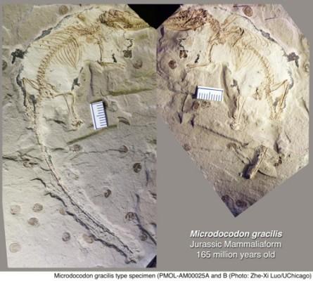 약 1억6천500만년 전 화석서 현대 포유류 설골 확인
