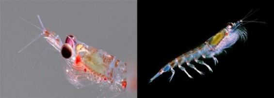 열대 바다 차가워지면 남극 작은 동물도 생존전략 바꾼다