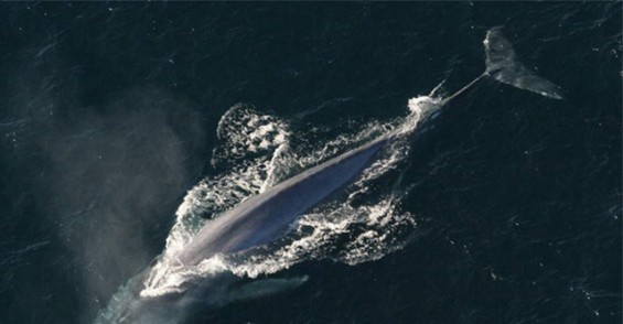 대왕고래 심장♥소리 듣기 위한 몬터레이灣 해상 추격전