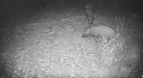 암컷 돼지 분비물로 유혹해 ASF 감염 야생멧돼지 잡는다