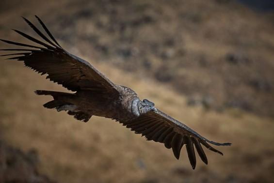 15kg의 거대 새가 어떻게 날갯짓 없이 170km를 비행할까