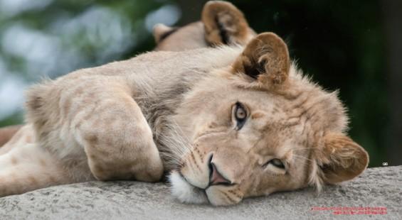[슬기로운 동물원 생활]사자 '도도'는 왜 입맛을 잃었나