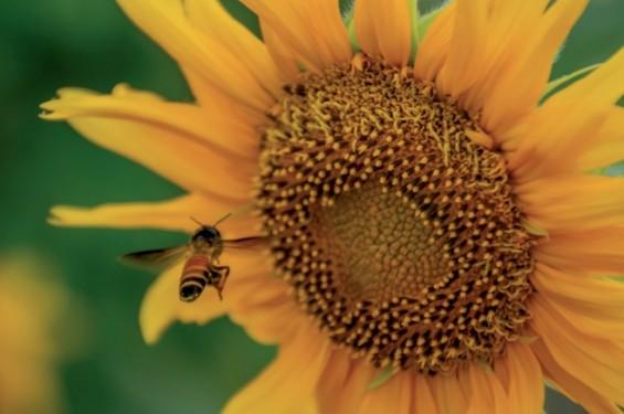 """""""해바라기꽃으로 Go!"""" 꿀벌도 길들여진다"""