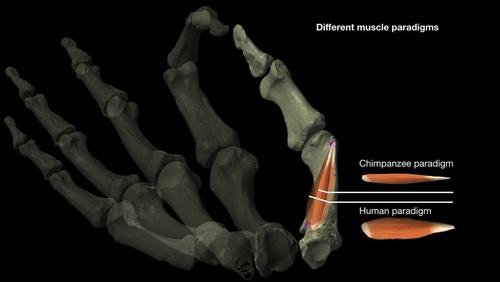 인류 발달 토대 엄지손가락 진화 약 200만년 전 이뤄져