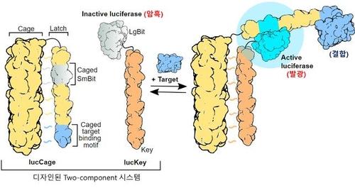 KAIST, 표적과 결합하면 빛을 내는 인공 단백질 개발