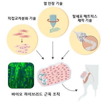 면역 거부반응 없는 환자 맞춤형 인공근육 나온다