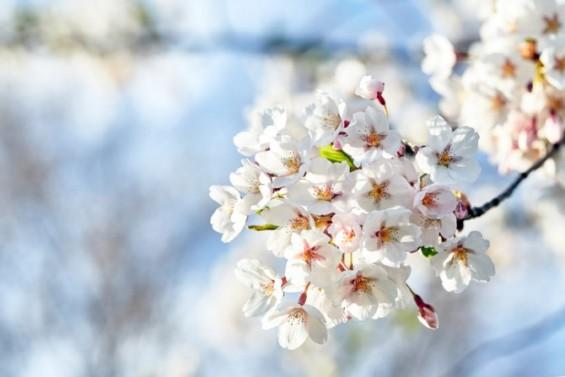 서울 벚꽃 100년만에 가장 빨리 피었다