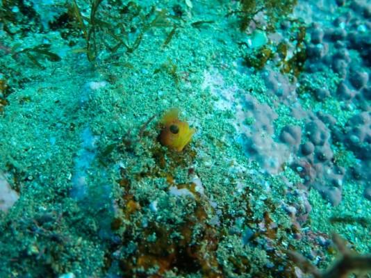 독도 바다에서 비늘베도라치 미기록종 발견