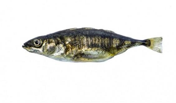 [잠깐과학] 물고기 세계에서 리더를 뽑는 기준