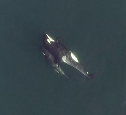 드론이 밝혀준 범고래 사회 생활…